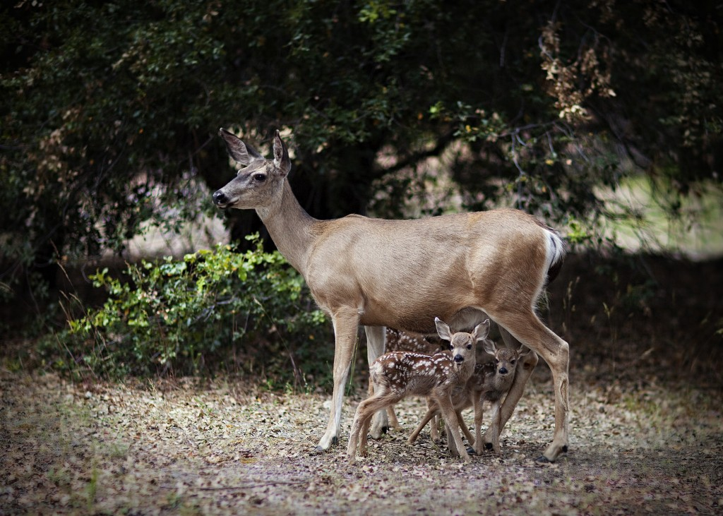 The gallery for --> Baby Deer And Mother