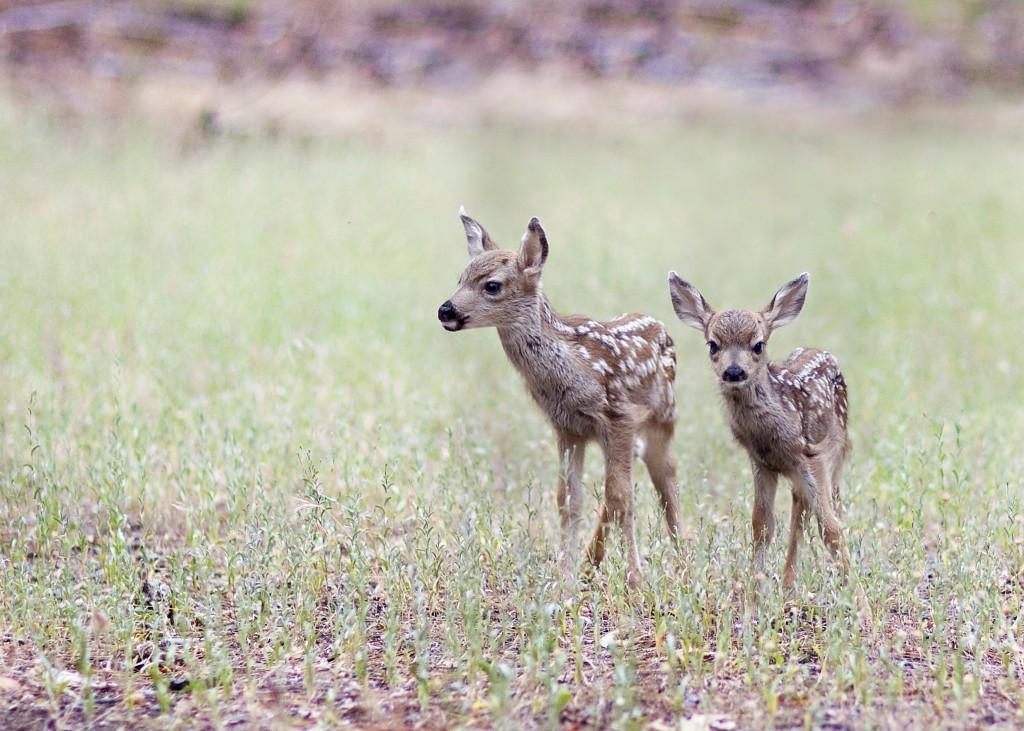 Newborn baby deer 2